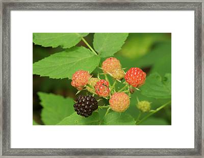 Black Berries Framed Print by Michael Peychich