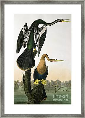 Black Billed Darter Framed Print