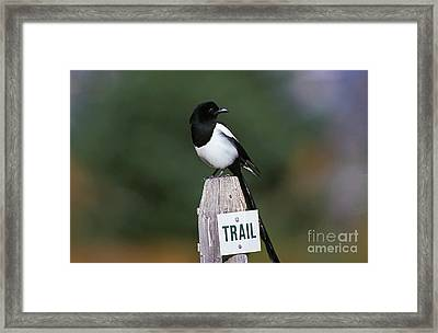 Black-billed Magpie Pica Pica Framed Print
