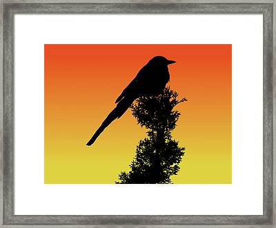 Black-billed Magpie Silhouette At Sunset Framed Print
