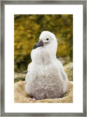 Black Browed Albatross Chic Framed Print