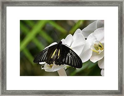 Black Butterfly Framed Print