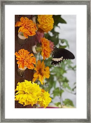 Black Butterfly Framed Print by Art Spectrum