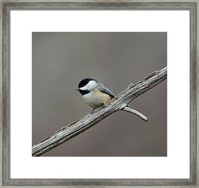Black Capped Chickadee 1 Framed Print by Todd Hostetter