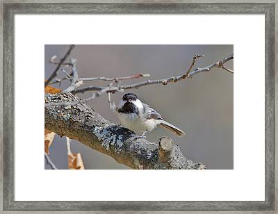 Framed Print featuring the photograph Black Capped Chickadee 1109 by Michael Peychich