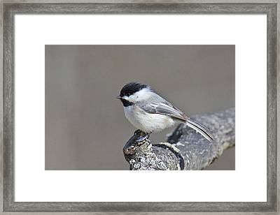 Framed Print featuring the photograph Black Capped Chickadee 1128 by Michael Peychich