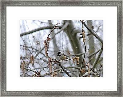Framed Print featuring the photograph Black-capped Chickadee 20120321_38a by Tina Hopkins