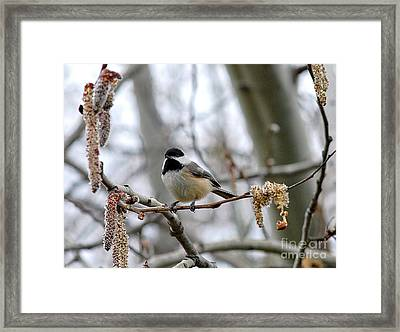 Framed Print featuring the photograph Black-capped Chickadee 20120321_39a by Tina Hopkins