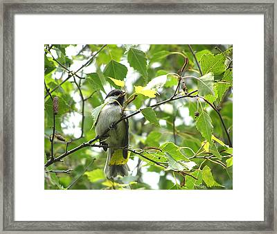 Framed Print featuring the photograph Black Capped Chickadee  by Angie Rea
