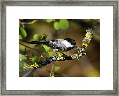 Black-capped Chickadee Framed Print by Ben Upham III