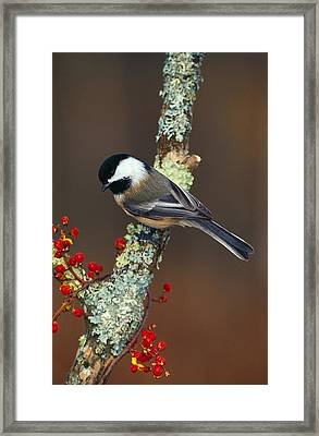 Black-capped Chickadee Bird On Tree Framed Print by Panoramic Images