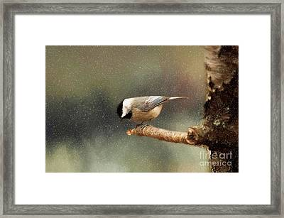 Black Capped Chickadee Framed Print by Darren Fisher