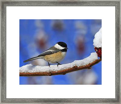 Black-capped Chickadee In Sumac Framed Print