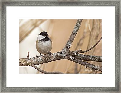 Black Capped Chickadee In Tree Framed Print by Natural Focal Point Photography