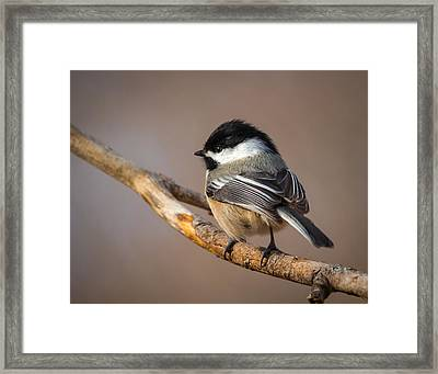 Black-capped Chickadee Framed Print