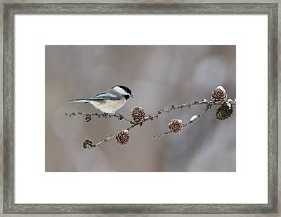 Framed Print featuring the photograph Black-capped Chickadee by Mircea Costina Photography