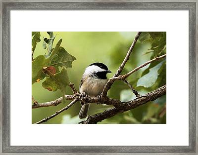 Black Capped Chickadee On Branch Framed Print