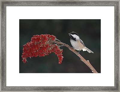 Black-capped Chickadee Framed Print by Raju Alagawadi