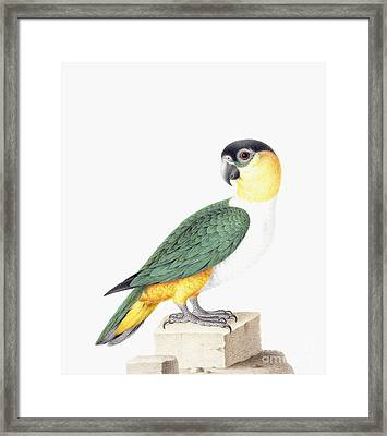 Black Capped Parrot Framed Print by Nicolas Robert