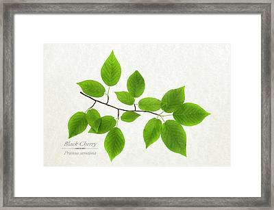 Black Cherry Framed Print by Christina Rollo