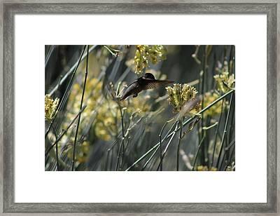 Black Chinned Hummingbird In Garden Framed Print by Colleen Cornelius