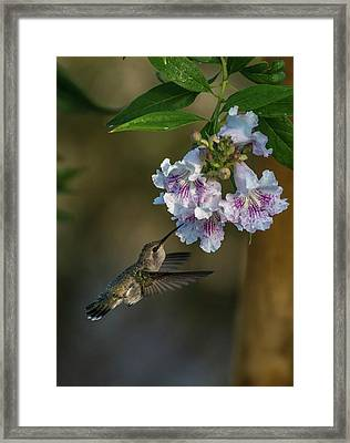 Black-chinned Hummingbird Framed Print