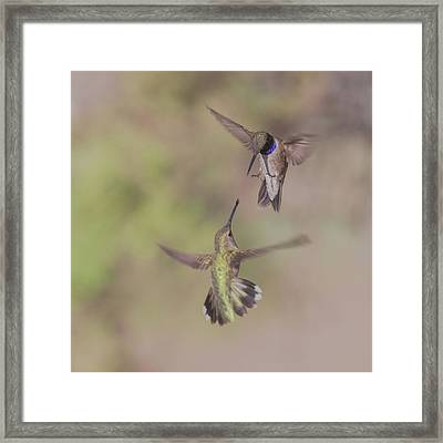 Black-chinned Hummingbirds Framed Print