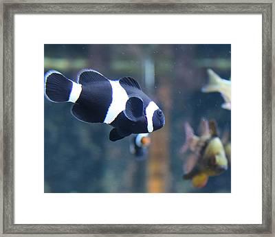Black Clown Fish Framed Print by Aimee Galicia Torres