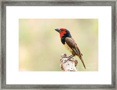 Framed Print featuring the photograph Black-collared Barbet -   Barbican A Collier - Lybius Torquatus by Nature and Wildlife Photography