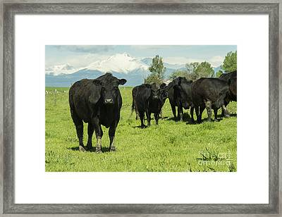 Black Cows Framed Print by Juli Scalzi