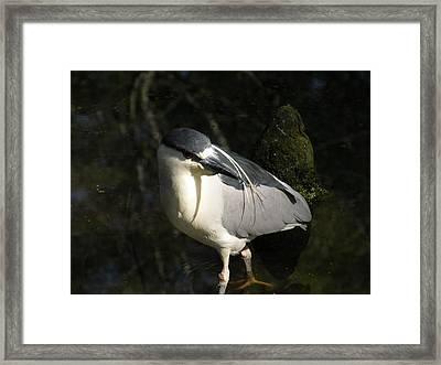 Black Crowned Heron Framed Print by Gregory Letts