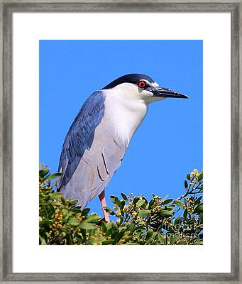 Black Crowned Night Heron Atop Tree Framed Print by Wingsdomain Art and Photography