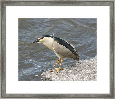 Framed Print featuring the photograph Black-crowned Night Heron by Doris Potter