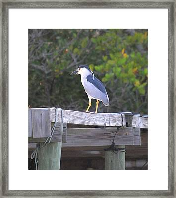 Black Crowned Night Heron Framed Print by John R Young Jr