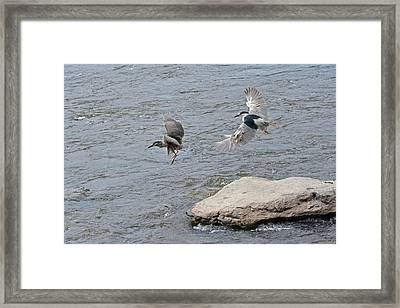 Black-crowned Night-herons In-flight Over The River Framed Print by Asbed Iskedjian