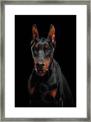 Black Doberman Framed Print