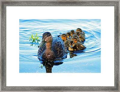 Black Duck Brood Framed Print