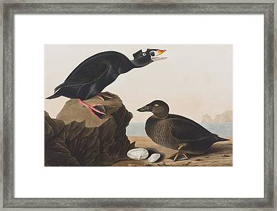 Black Duck Or Surf Duck Framed Print by John James Audubon