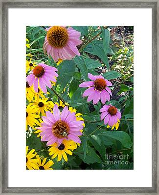 Black Eye Susans And Echinacea Framed Print by Eric  Schiabor