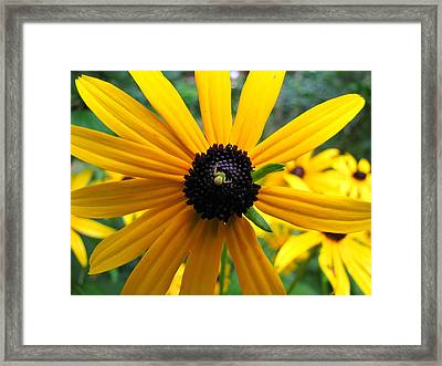 Framed Print featuring the photograph Black-eyed Susan And A Traveler by Lori Miller