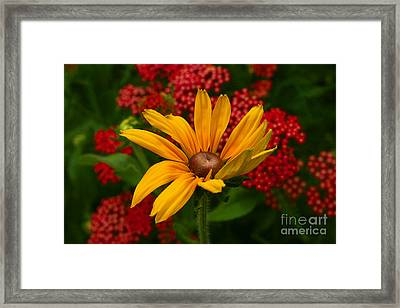 Black-eyed Susan And Yarrow Framed Print by Steve Augustin