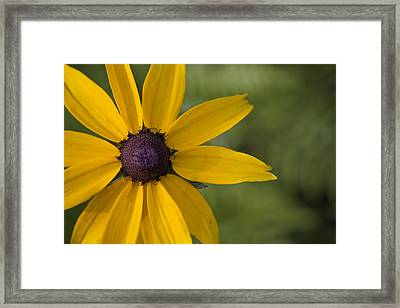 Black-eyed Susan Framed Print by Bob Decker