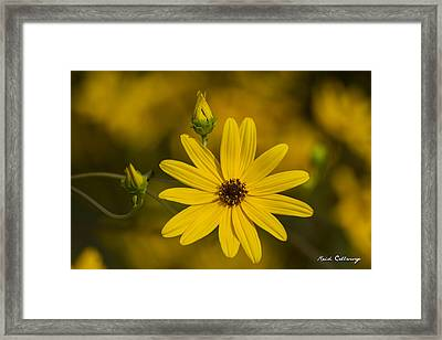 Almost Perfect Black-eyed Susan Flower Framed Print by Reid Callaway