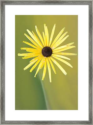 Black Eyed Susan Flower  Framed Print by Art Spectrum