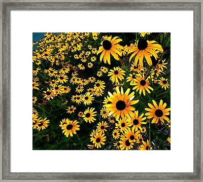 Black-eyed Susan Flowers Framed Print