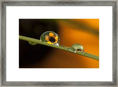 Black-eyed Susan In Dew Framed Print