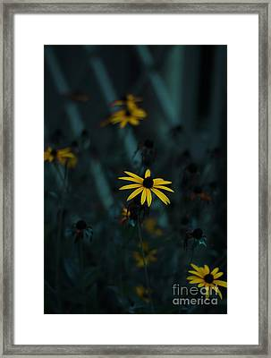 Black Eyed Susan Framed Print by Jasna Buncic