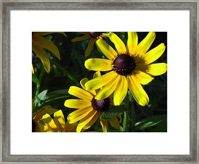 Black Eyed Susan Framed Print by Mary-Lee Sanders