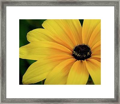 Black-eyed Susan Framed Print