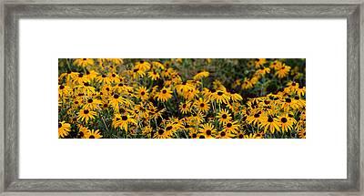Black-eyed Susan Rudbeckia Hirta Framed Print by Panoramic Images
